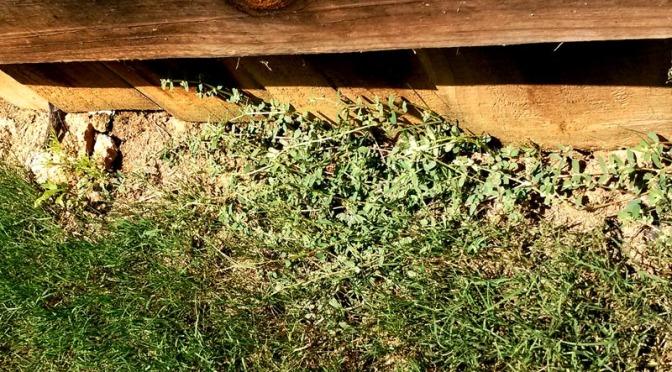 Spurge - Weed Dallas, Ga