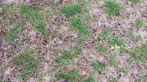 Poa Anna - Dallas GA Lawn Care